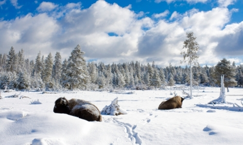 476_lEHmm_Yellowstone_Winter_Vacations_Bison_md